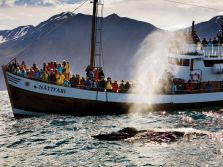 The Original Whale Watching from Húsavík Harbour, North Iceland