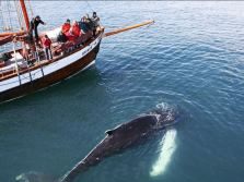 Whales and Sails - from Húsavík Harbour, North Iceland